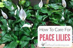 Peace Lily Plant Care Guide: How To Grow A Peace LilyPeace lily is a low light indoor houseplant that flowers and cleans the air in our home. With so many benefits, no wonder they're popular! Indoor Plants Clean Air, Indoor Plant Pots, Big Plants, Exotic Plants, Growing Flowers, Planting Flowers, Peace Lily Plant Care, Peace Lillies, Container Gardening