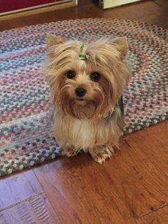 Our Yorkie just after a bath.