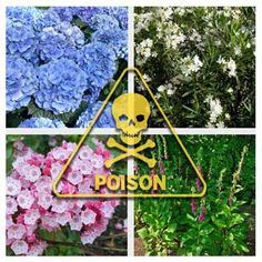 12 Deadliest Garden Plants:  Beware of growing these plants around pets and young children.
