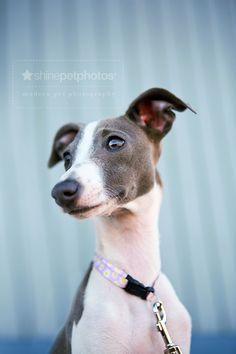 handsome italian greyhound