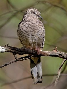 Trinidad Y Tobago, Dove Pigeon, Dove Bird, Kinds Of Birds, Colorful Birds, Bird Species, Beautiful Butterflies, South America, Tractors
