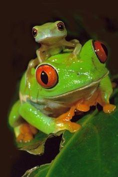 Cute frogs! - Animals Photo (31807510) - Fanpop fanclubs