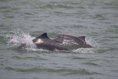 A baby dolphin seen with marine debris wrapped around its neck near Cairns.