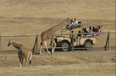 Safari West, Santa Rosa.  lodging, dining, safaris.  Lots of packages (cause it aint cheap...but still a budget girl;s africa, ha) around the year.  i want to be on the top of the jeep - everyone gets a turn apparently