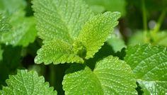 A Family Herb: Lemon Balm Benefits