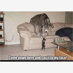 This is sooo funny because this is my dog!! He thinks he is so big!!