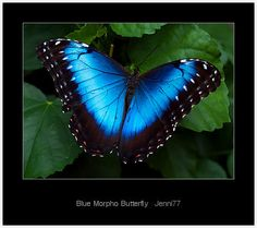 blue morpho butterfly | all products tags blue morpho butterfly dunedin museum jenni77 macro