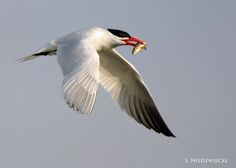 Caspian Tern 8925-12 | by StacyN - MichiganMoments