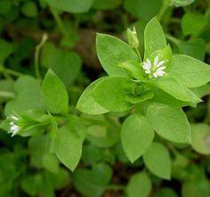 Velespit.Net - Yenebilen Yabani Otlar Wild Edibles, Kraut, Herbalism, Herbs, Plants, Aspirin, Plant Parts, Botany, Mint