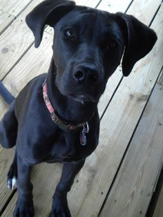 Abby the Labradane on Pinterest | Great Danes, Labs and Dogs