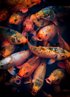 Another shot of the Koi in the moat of the Imperial City in Hue Koi Fish Pond, Betta Fish, Photowall Ideas, Ocean Aquarium, Koi Art, Ap Studio Art, Pond Design, Strange Photos, Underwater Photos