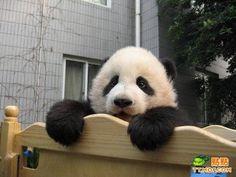 Imagen osito panda asomandose por su cuna  [27-12-15]