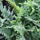 Polypodium vulgare Native evergreen fern. Very versatile!
