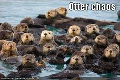 The best kind of chaos...otter chaos!