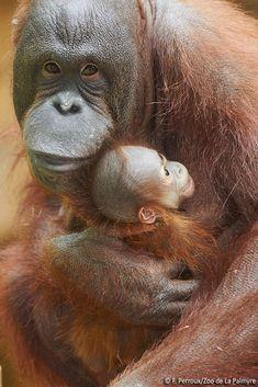 Two Bornean Orangutan babies were born just three weeks apart at France's La Palmyre Zoo.