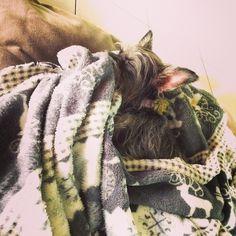 Sleeping beauty #amolapeli #lola #adopta #prodan #instadog