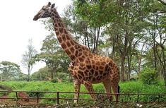 Žirafie centrum - reportáž z Kene Nairobi, Giraffe, Safari, Boho, Animals, Animales, Animaux, Giraffes, Animal