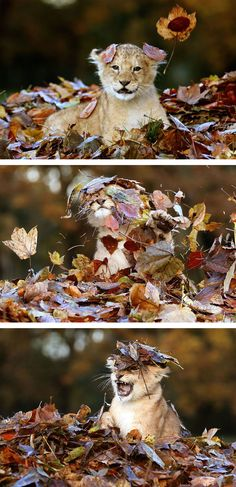 Lion cub playing with dead leaves