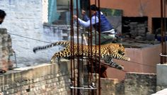 In this Sunday, Feb. 23, 2014 photo, an Indian man moves out of the way of a leopard in the northern Indian city of Meerut, India.