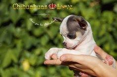 perros chihuahua en venta
