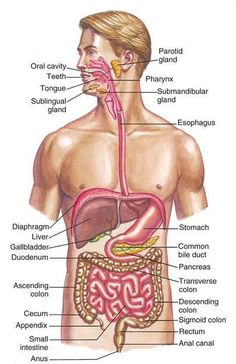 The human digestive system includes all the gastrointestinal organs, including the mouth, stomach, intestines and other organs involved in digestion. Digestive System Anatomy, Human Digestive System, Human Body Systems, Human Body Anatomy, Muscle Anatomy, Body Anatomy Organs, Human Body Diagram, Body Organs Diagram, Basic Anatomy And Physiology