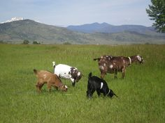 Goats on pasture at Briar Gate Farm
