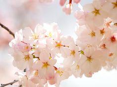 Lễ hội hoa anh đào đã bắt đầu ở Nhật Bản, sắc hoa phủ trắng tạo nên những bức tranh thiên nhiên tuyệt đẹp. My Flower, Japanese Art, Beautiful Flowers, Flora, Rose, Spring, Nature, Plants, Cherry Blossoms