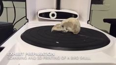 Nicholas Griffith, Vertebrate Zoology Collections Technician scans and 3D prints a bird skull for display in the upcoming exhibit Lele O Nā Manu: Hawaiian Fo...