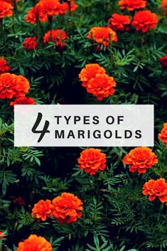 4 Types of Marigolds PLUS How to Grow and Benefits (Marigolds Guide) Beautiful marigold flowers. We list out 4 different types. Great info and how to grow marigolds. Marigolds In Garden, Growing Marigolds, Hydrangea Garden, Growing Flowers, Tips And Tricks, Garden Care, Fall Flowers, Orange Flowers, Companion Planting Chart