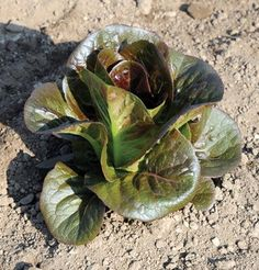 Breen Romaine Lettuce forms a very compact mini head early. Garden Seeds, Planting Seeds, Garden Plants, Growing Lettuce, Head Of Lettuce, Growing Gardens, Growing Plants, Easy Garden, Lawn And Garden