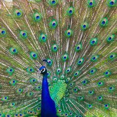 i love peacocks