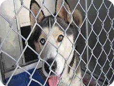 Redlands, CA - Siberian Husky. Meet BECKER, a dog for adoption. http://www.adoptapet.com/pet/11131166-redlands-california-siberian-husky