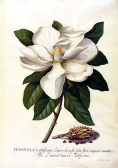 My mom would have painted this -- it's so gorgious !!!   Georg Dionysius Ehret  Bull Bay Magnolia  1743