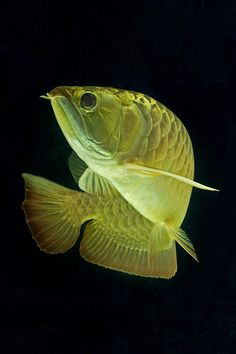Dancing golden arowana by Kevin Law, via 500px