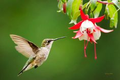Hummingbird Hovering, Hummingbird Print, Bird Art, Photo Print, Hummingbird…