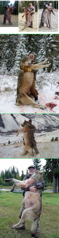 Fake - Killer Wolves - The story was started by individuals involved with promoting their hunting businesses. There are numerous locations and dates given. The wolves are big but forced perspective exaggerates the perception. Here is a good discussion link and click through to Snopes.com....... http://unexplainedmysteriesoftheworld.com/archives/giant-wolf-epidemic-huge-packs-of-giant-canadian-gray-wolves-are-terrifying-idaho-residents