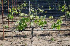vinná réva, žez vinné révym, jak pečovat o víno, fazochy Rv, Outdoor Structures, Plants, Motorhome, Plant, Camper, Planets