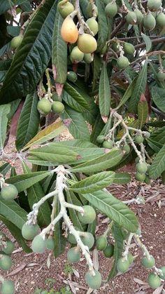 Yeni Dünya (Malta Eriği) ağacım bereketli meyvelerini sarartmaya başlamış ve dalından koparıp tatlı tatlı yemeye yaklaşıyoruz...