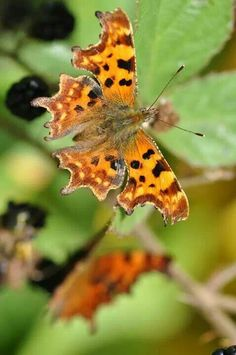 Comma butterflies