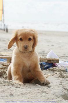 Golden Retriever puppy on the beach.