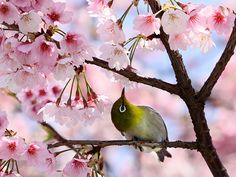 Tokyo, Japan: A bird sits among the cherry blossom at a park Photograph: Yoshikazu Tsuno/AFP/Getty Images
