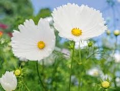 cosmos flowers images - Google Search Cosmos Flowers, Long Flowers, Yellow Flowers, Pink Roses, Short Plants, Leafy Plants, Farm Cottage, Rosy Pink, Flower Shape