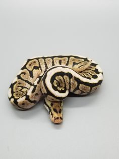 Co-Dominant Ball Python Morphs - A 2 Z Reptiles - Look at some snakes! Ball Python Morphs, Black Opal, Black Laces, Back To Black, Snakes, Reptiles, Bling, Jewel, A Snake