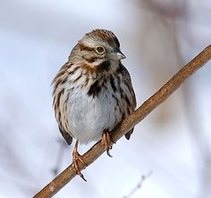 song sparrow, adult eastern form