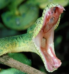 Emerald Tree Boa - Coiled Green Ambusher