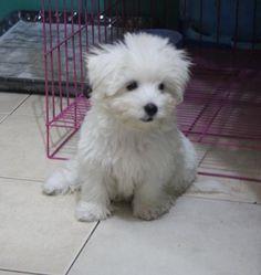 My First Maltese Pup- Vomit.