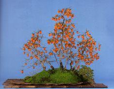 Fruiting Bonsai: A Mystery Persimmon,kaki