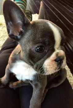 Baby Olive. French bulldog puppy.