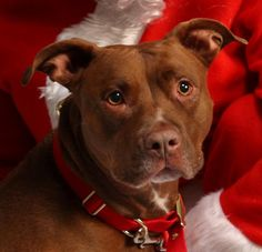 Meet Marcy, a Petfinder adoptable Pit Bull Terrier Dog | Reading, PA | Marcy is an incredible dog who has been waiting for her own home a long time! She is just...