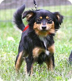 West Grove, PA - Pomeranian/Papillon Mix. Meet Luke, a dog for adoption. http://www.adoptapet.com/pet/13917049-west-grove-pennsylvania-pomeranian-mix